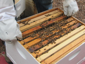 Checking the hive on Fox Trot Farm