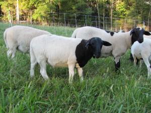 Spring 2014 Ram Lambs
