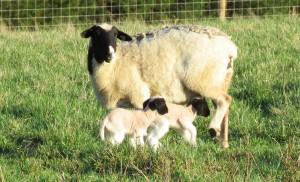 Lambs and Mom