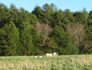 Lambs Keeping Up with Ewe