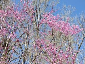 Redbuds against Carolina Blue Sky