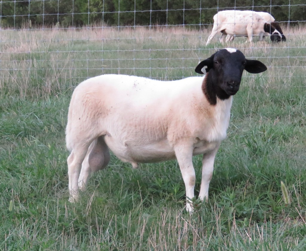 Intact Ram Lambs for Sale