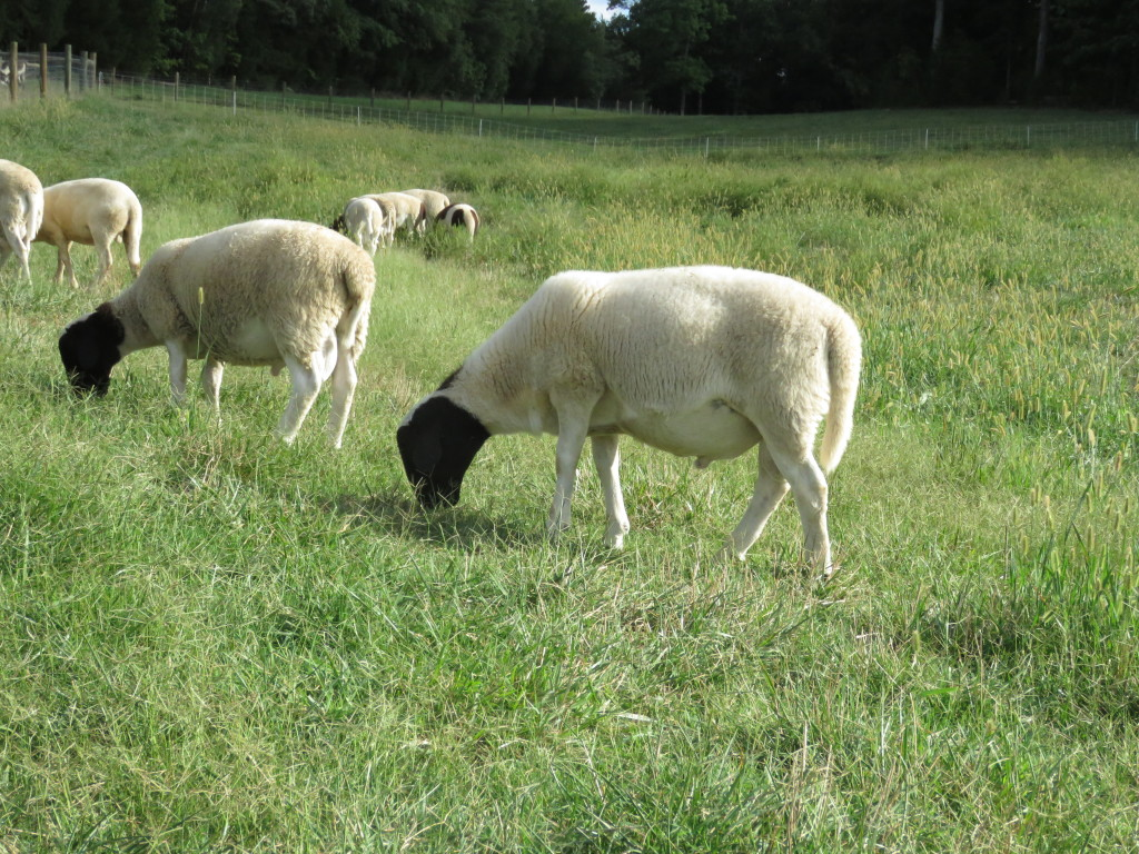 Ram Lambs in Pasture