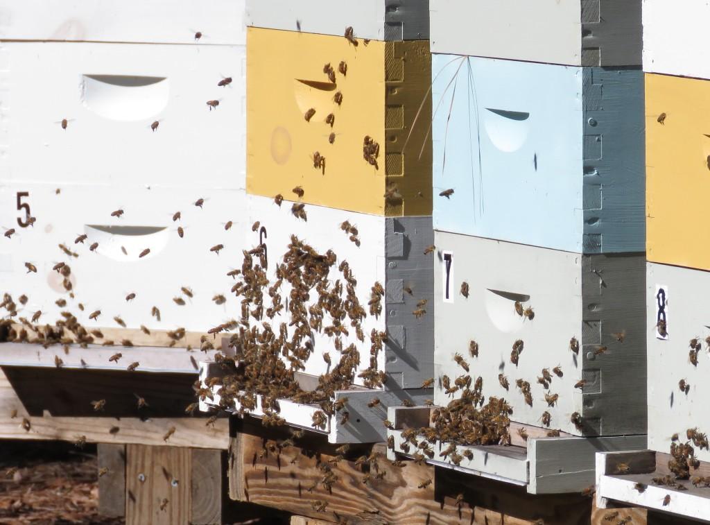 Honeybees in Sunshine
