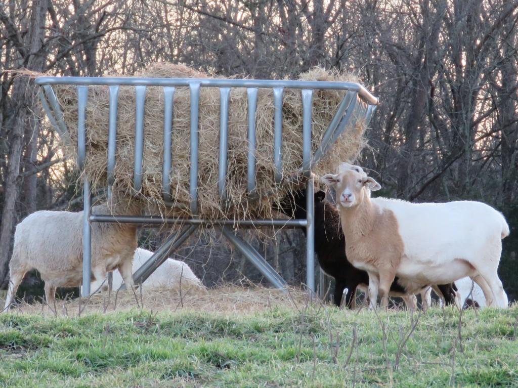 Ewes Hay