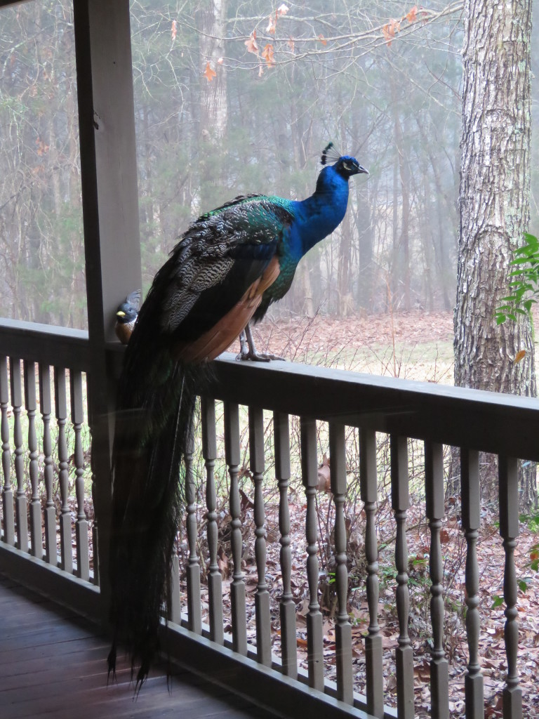 Peacock on Porch