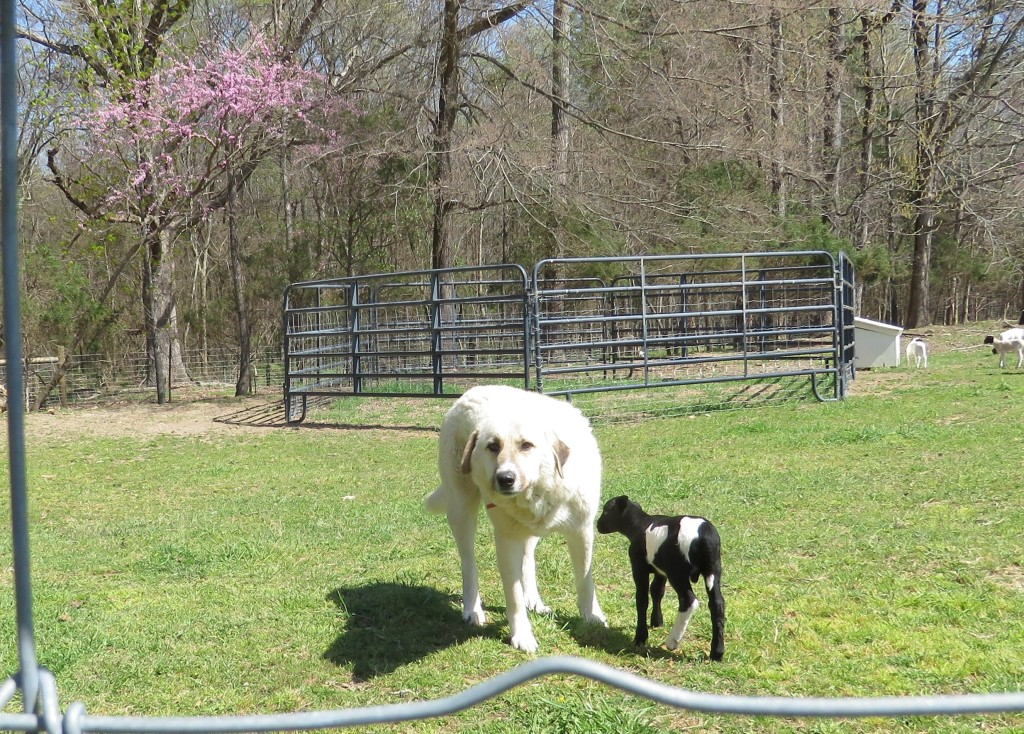 Hobart Lamb