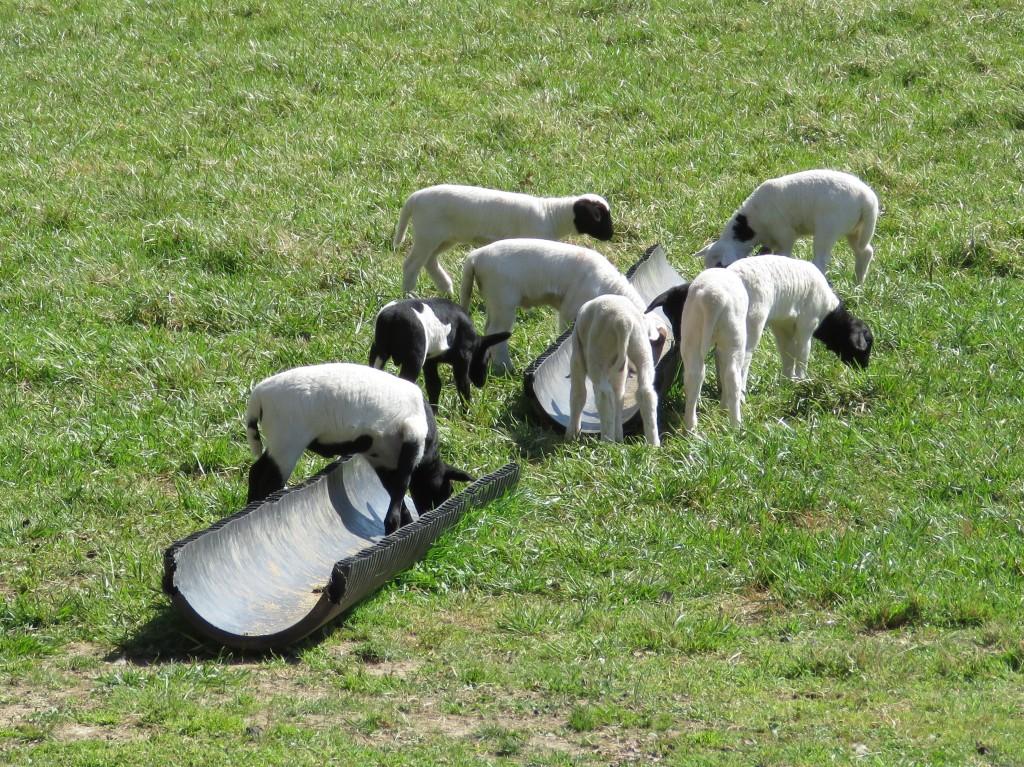 Lotsa Lambs