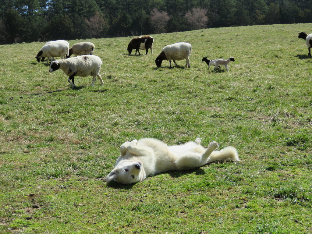 Maremma Livestock Guardian Dog