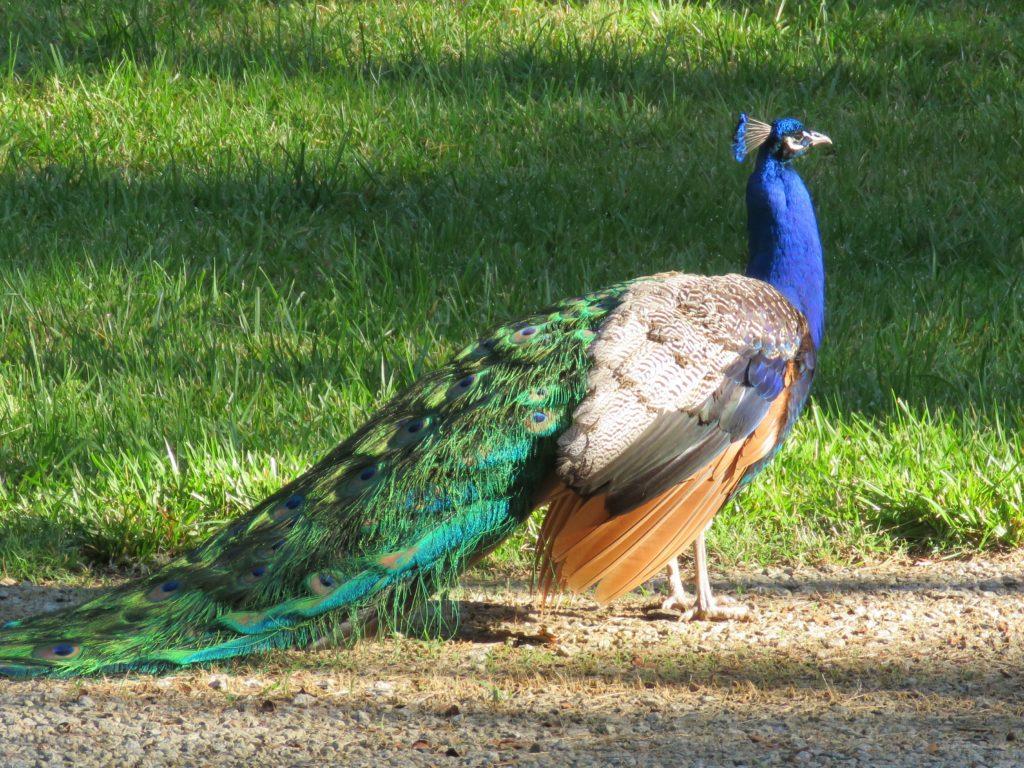 MrPeacock