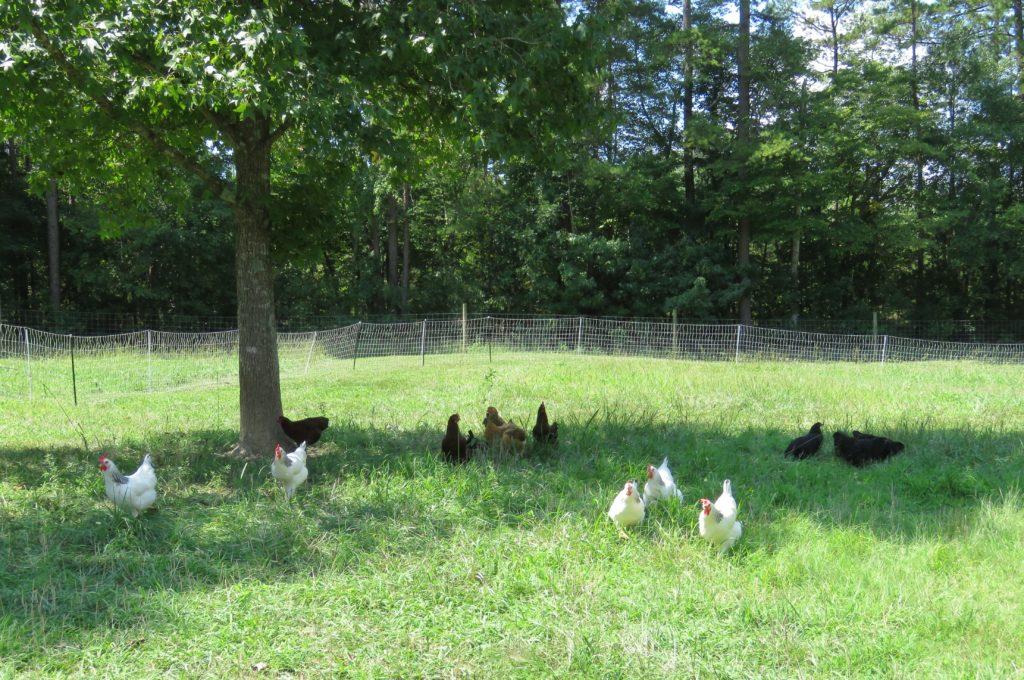 ChickensGrass