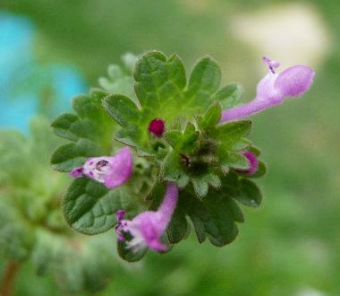 henbit_flower
