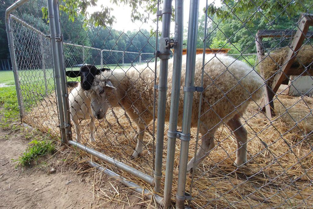 Sheep on Fox Trot Farm