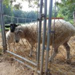 Sheep on Fox Trot Farm