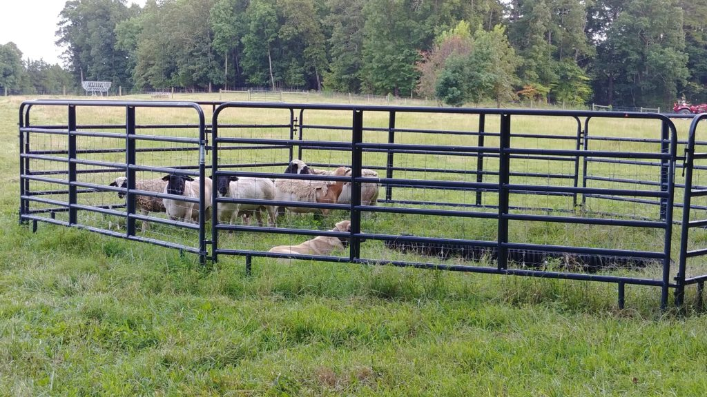 Turk and his rams in the round pens on Fox Trot Farm