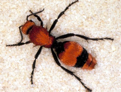 cow killer ant