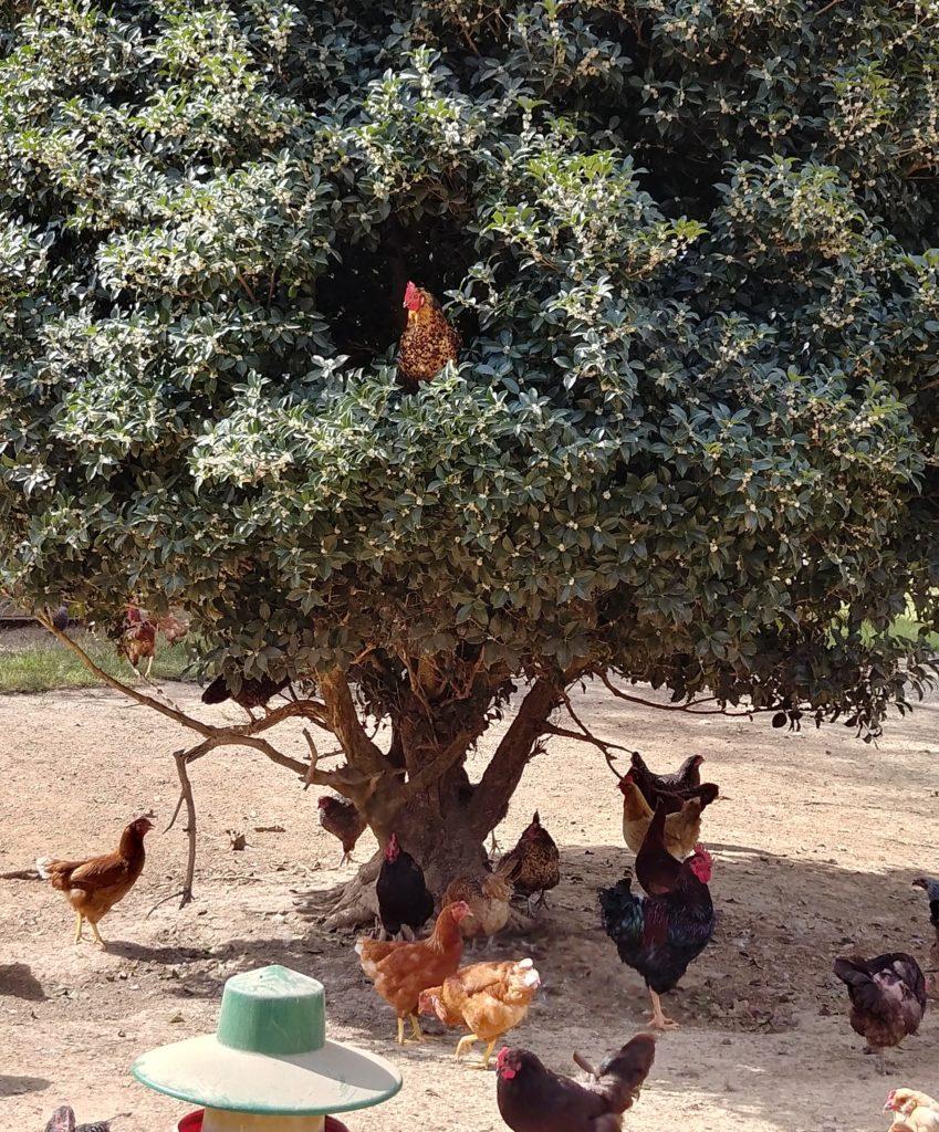 Fox Trot Farm Chickens & their Holly Tree