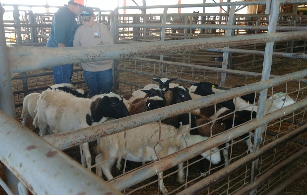 Fox Trot Farm Sheep at the Union County Sale Barn