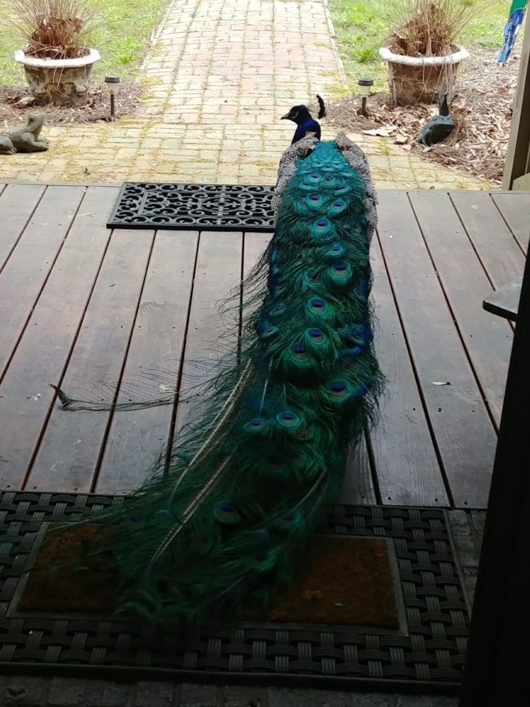 Peacock on the front porch