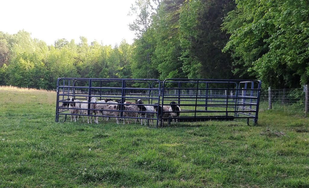 Penning Sheep for Worming