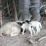 Premature lambs
