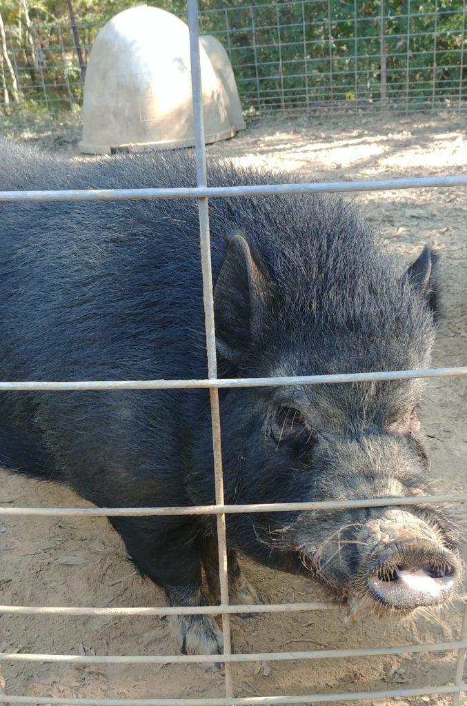 Pork Chop the Pot Belly Pig