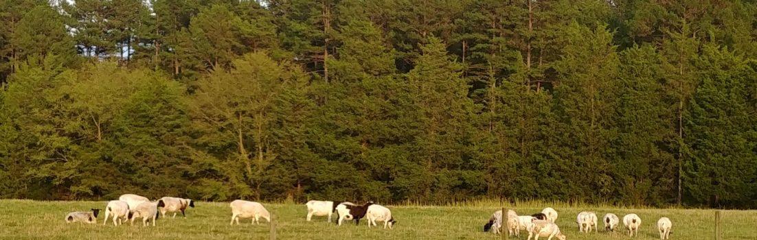 Border Collies and Sheep
