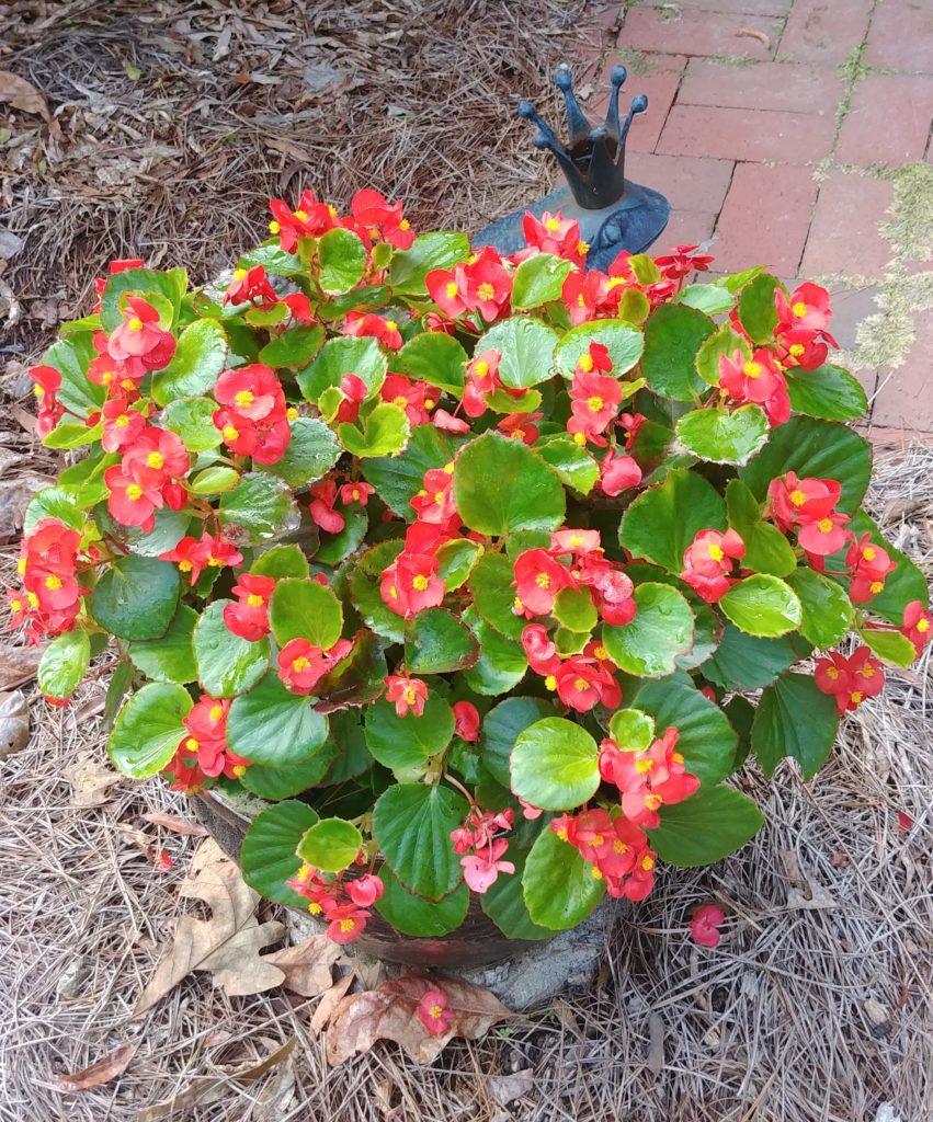 Pretty begonia