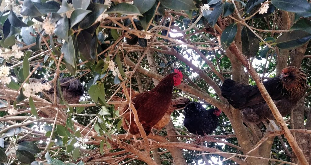 Chickens in the holly
