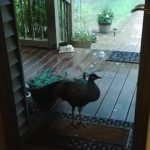 Mr. Peacock at the front door