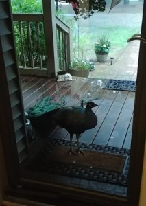 Mr. Peacock at the front door during the storm