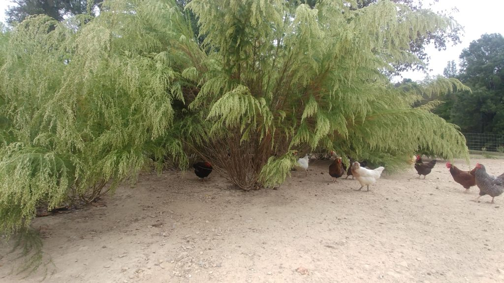 Fennel Forest & Chickens